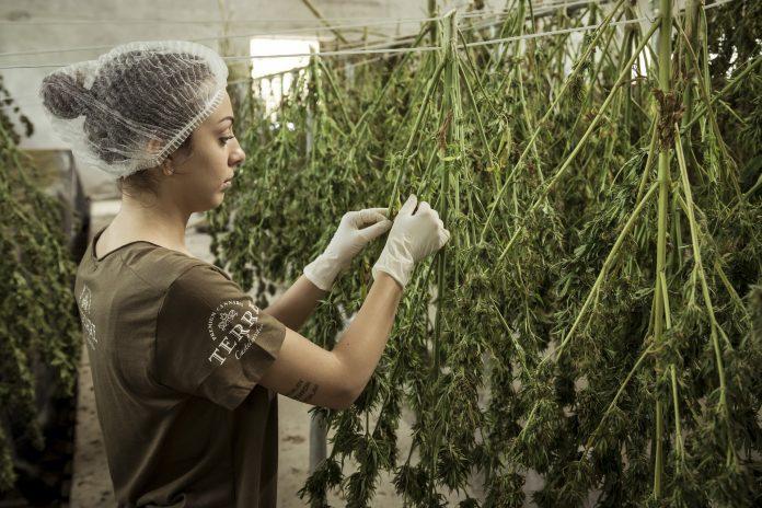 Effetti legalizzazione cannabis [Fonte: Pixabay, attribuzione non richiesta]
